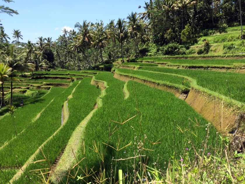 Gunung Kawi Rice Terraces.JPG
