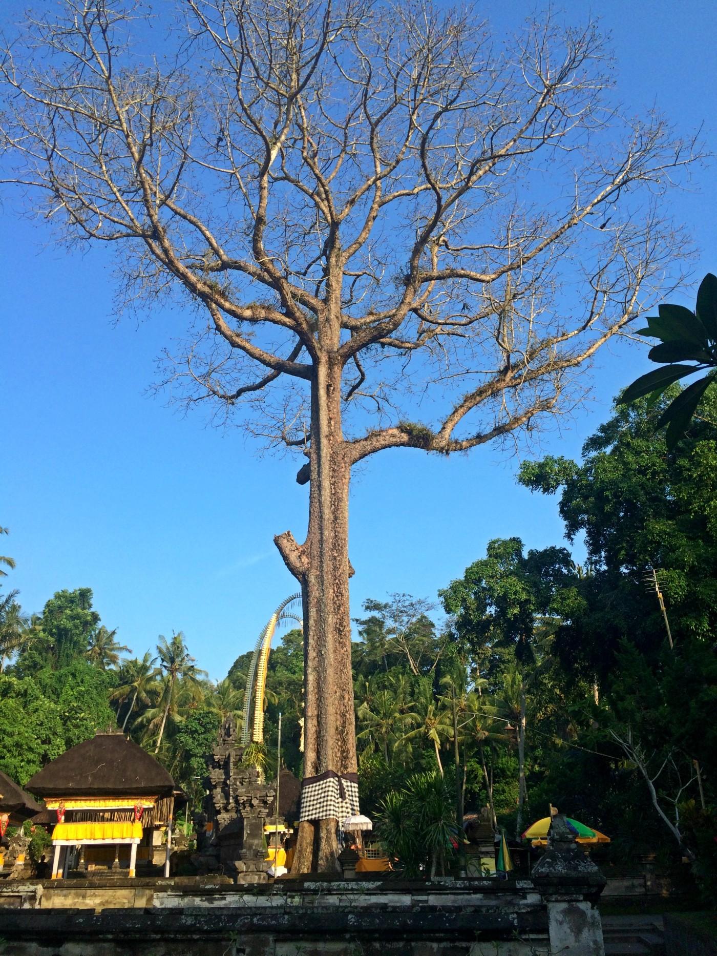 Goa Gajah Tree.jpg