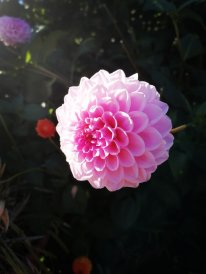 Dahlia Pink